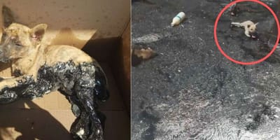 Three puppies head off on a sticky adventure and get stuck in tar