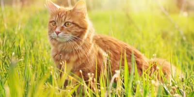 gatto nell'erba con cuterebra
