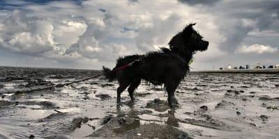 Pfotenabdrücke im Schlick: Eine Wattwanderung mit dem Hund