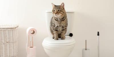 gatto sul wc