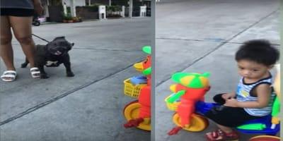 pitbull inclina la testa e bambino sul triciclo