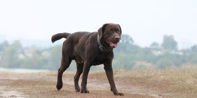 Kulawizna u psa - przyczyny, profilaktyka i leczenie