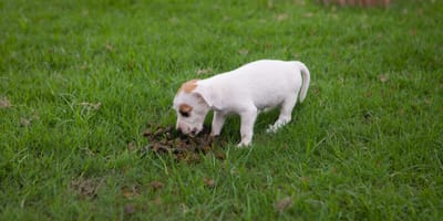 Why your puppy is eating poop