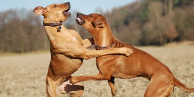 Why can dogs be aggressive with other dogs?