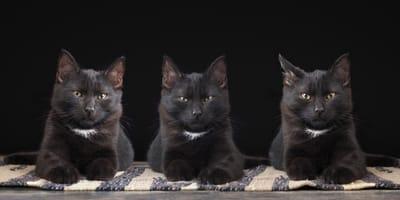 identyczne koty