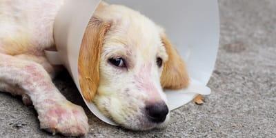 cane-bianco-con-rogna-e-museruola