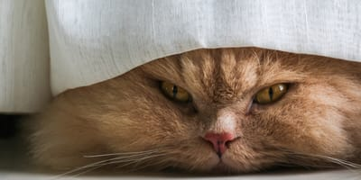Mi gato rasguña las cortinas: ¿cómo enseñarlo a que no lo haga?