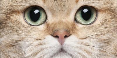 enfermedades oculares gatos