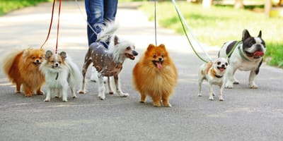 Bunch of dogs for a walk looking happy