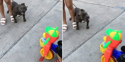 Pitbull spotyka malucha na rowerku. Reakcja psa kradnie nasze serca (VIDEO)
