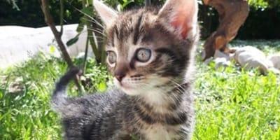 gattina tigrata nell'erba