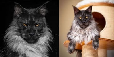 Vivo the Maine Coon cat