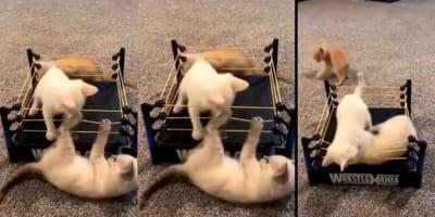 Wrestling kittens