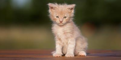 Ein niedliches Maine-Coon-Kätzchen