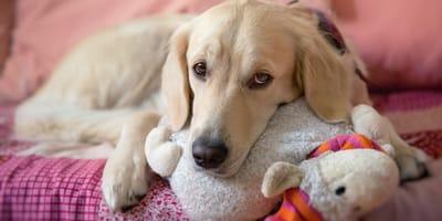 Scheinträchtigkeit bei Hunden: Was ist bloß mit meiner Hündin los?