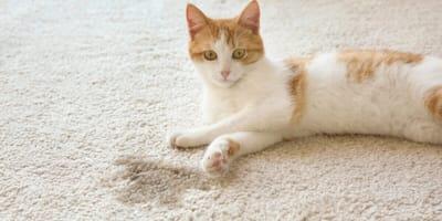 Katzen neben Urinfleck auf Teppich