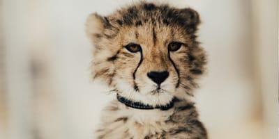 Małe gepardy przemycane są głównie do krajów Zatoki Perskiej, gdzie kupują je prywatni nabywcy.