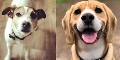 Beagle dog and Jack Russell dog