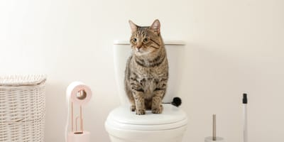 gato estreñido