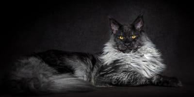 Poznajcie Vivo: kota—lwa
