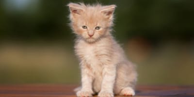 Maine Coon kitten looks at camera