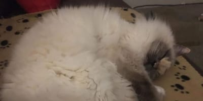 gato con pene en la cara