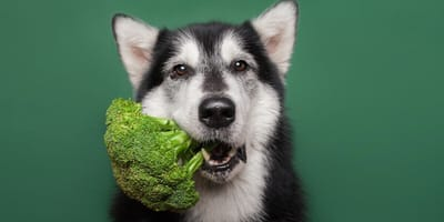 Hund mit Brokkoli im Maul