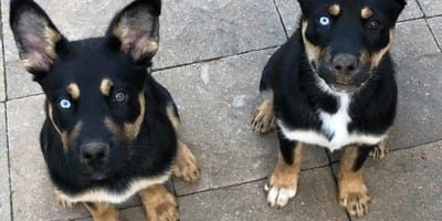 Rottsky: así es el cruce de Rottweiler con Husky