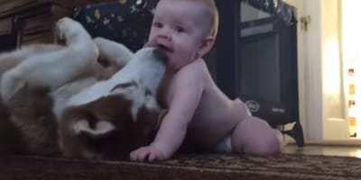 Baby and husky playing on the ground