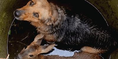 Pies uwięziony w studni