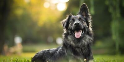 Understanding a female dog's behaviour when she is in heat