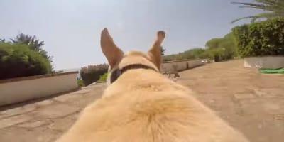Labrador spuszczony ze smyczy biegnie jak szalony i… (VIDEO)