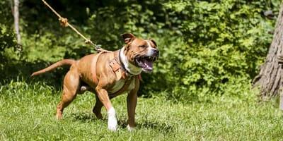 Aggressiver Shaffordshire Terrier