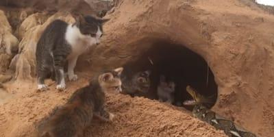 piton ataca a gatos