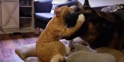 Cuando un pastor alemán y un gatito naranja se hacen mejores amigos (Vídeo)