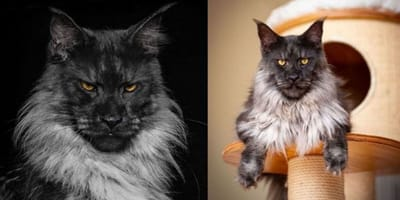Vivo-gatto-Maine-Coon