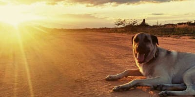 Anatolian Shepherd sitting in front of sunset