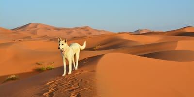 Hund in der Wüste