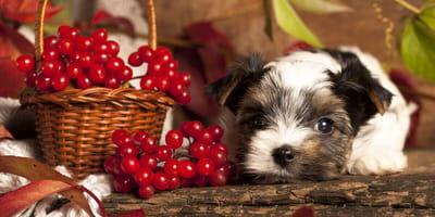 Cranberries für Hunde: Gesund oder nicht?
