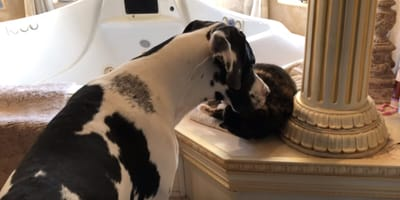 Great dane and cat play together in the bathroom