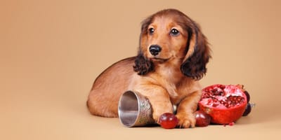 Hund mit Granatapfel