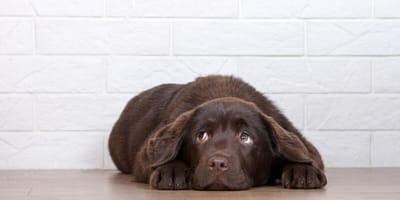 perros de raza labrador color chocolate