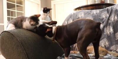 cachorro boston terrier pelea gato