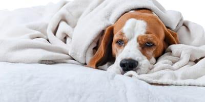 Röcheln, Husten, Würgen: Wenn der Hund eine Kehlkopfentzündung hat