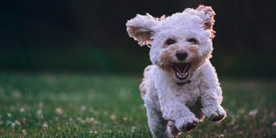 Bichon running towards owner