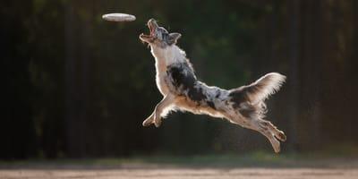 Schneller, weiter, höher: Tierische Power bei der Hundesportart Dog Frisbee
