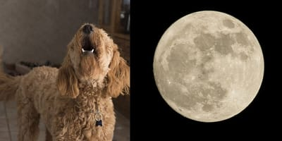 Dog owners beware! Tonight's full moon could drive your pooch loony!