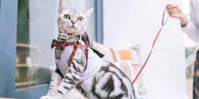 gatto tigrato con guinzaglio