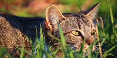 Wypuszczane samopas oraz bezdomne koty to zagrożenie dla dzikiej fauny