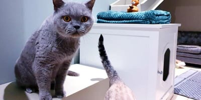 British blue cat sits on stairs